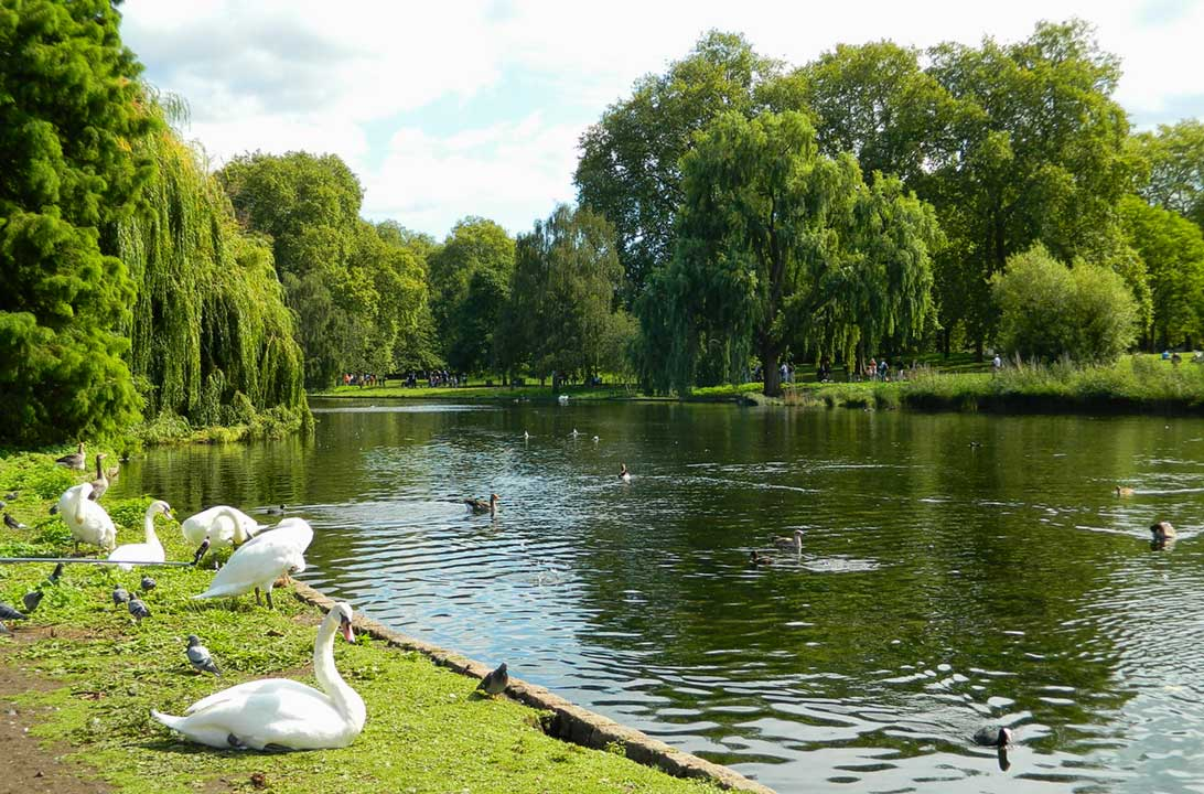 Cisnes e patos nadam no lago do Saint James's Park