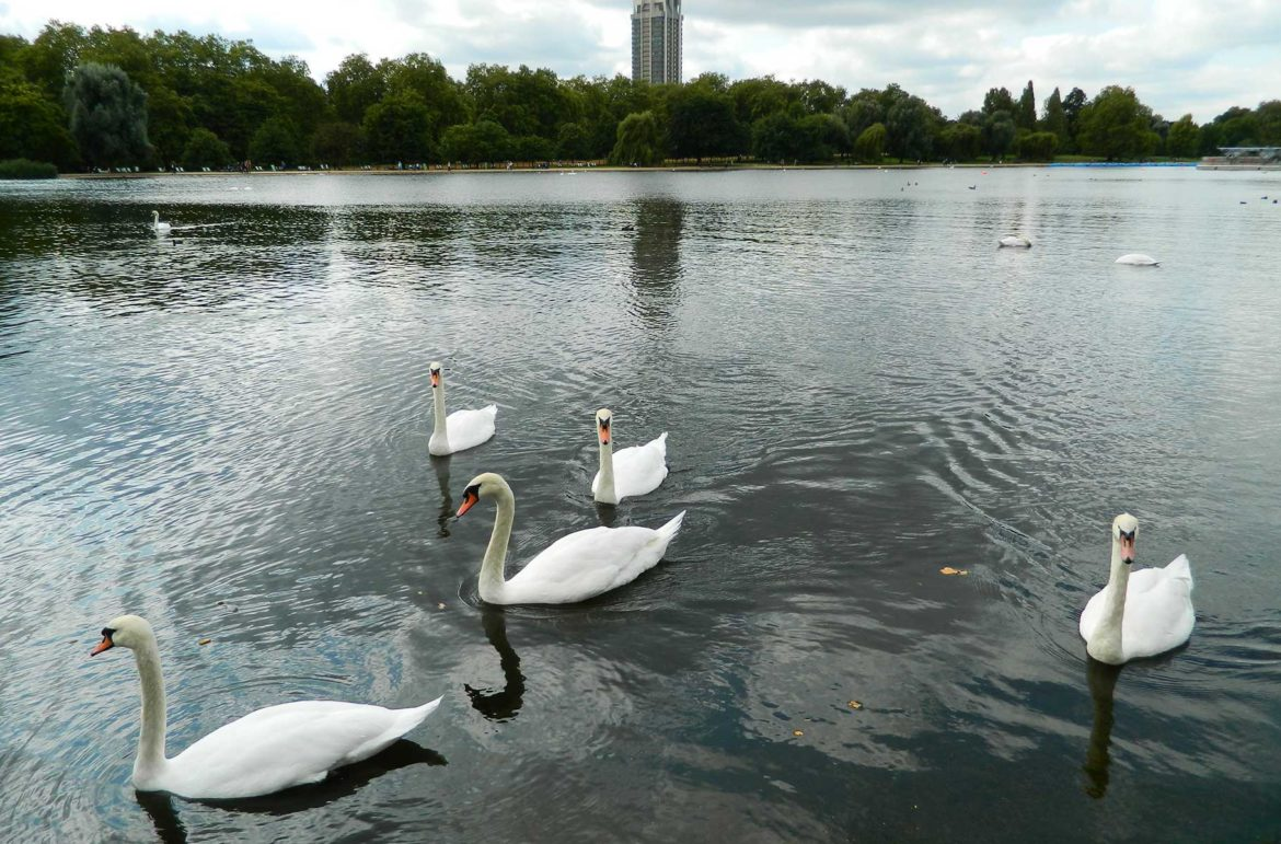 Cisnes nadam no lago do Hyde Park